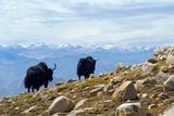 Two Yak on Rocky Mountain Slope in Himalayan Landscape Overlooking Snowcapped Zanskar Range …