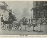 A Team of Zebras