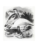 The Ptarmigan  Illustration from 'A History of British Birds' by William Yarrell  First Published…