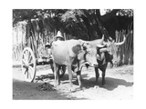 Team of Oxen  Mexico  C1927