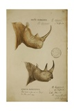 White Rhino and African Rhino  C1860