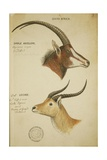 Two South African Antelope  C1860