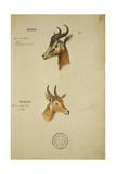 Two Antelope  C1860