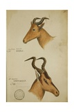 Two Antelope  C1860
