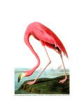 American Flamingo  1834