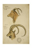 Aoudad and Jaela  C1860