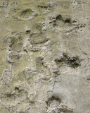 Tracks of Two Saurians  Propably the Footprints of a Camarasaurus (Round Footprint) and a…