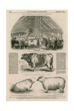 The Smithfield Club Christmas Cattle Show