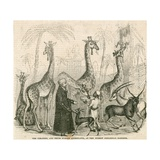 Giraffes and their Nubian Attendants at the Surrey Zoological Gardens  London