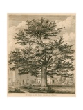 The Cedar in the Palace Garden at Enfield  Middlesex