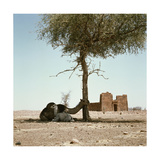 Camels Sit in the Shade of a Tree before the Ancient Meroitic Temple Complex at Naga