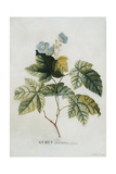 Rubus  1744