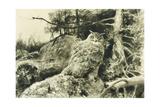 Berguv (Eagle Owl) Bubo Bubo  1894