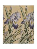 Iris  1898