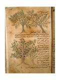 Folio 22R of the Arabic Version of Dioscorides' De Materia Medica