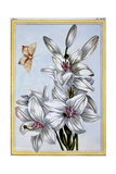 The Great White Lily  C1766