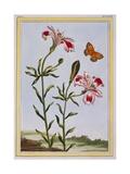 La Fleur Tachete Des Incas (Peruvian Lily)  C1766