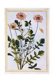 Ethiopian Arcotis (African Lily)  C1766