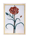 Carnation  C1776