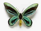 Queen Alexandra's Birdwing Butterfly