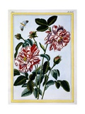 The Variegated Rose of England; Probably in Fact Rosa Gallica  C1766