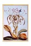 Sea Daffodil  C1776