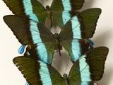 Green Swallowtail Butterflies