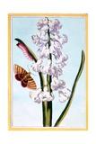Hyacinth  C1766