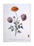 Ranunculus  Illustration from 'The British Herbalist'  1769