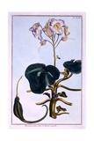 Proboscis Flower