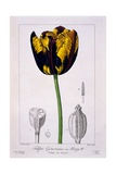 Tulip of King Henry IV  1836