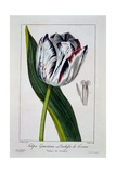 Tulip of the Duchess of Tuscany  1836
