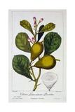 Peretta Lemon  1836