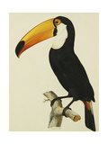 The Toco Toco Toucan (Ramphastos Toco)