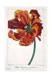 Tulip 'Firebird'  1836