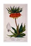 Fritillaria Imperialis  1836