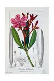 Nerium Oleander  1836