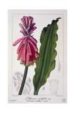 Veltheimia Viridifolia  1836