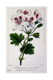 Pelargonium Macranthon  1836