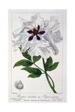 Paeonia Suffruticosa  1836
