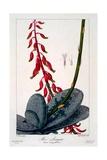 Aloe Lingua  1836