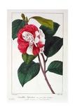 Camellia Japonica  1836