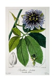 Passiflora Pedata  or Passsion Flower  1836