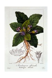 Mandragora Officinarum  1836