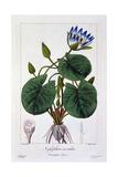 Nymphaea Caerulea  1836
