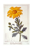 Calenudla Officinalis  or Pot Marigold  1836