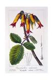 Bryophyllum Calycinum  or Kalanchoe Pinnata  1836