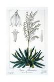 Yucca Filamentosa  1836