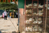 Caged Live Chickens for Sale on Street Corner Shop