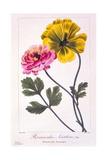 Persian Buttercup  1836